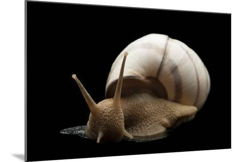 Banded Tree Snail, Orthalicus Floridensis.-Joel Sartore-Mounted Photographic Print