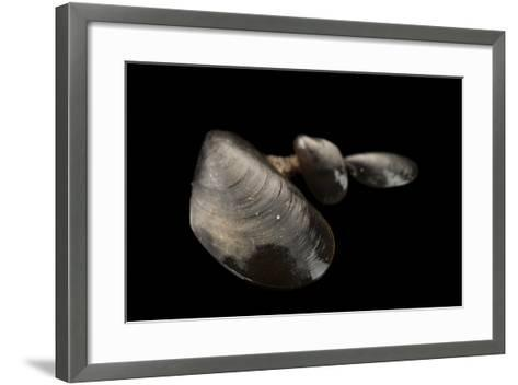 Blue Mussels, Mytilus Edulis, in Seaside Park, New Jersey.-Joel Sartore-Framed Art Print