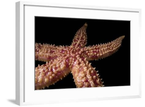 A Rainbow Sea Star, Orthasterias Koehleri, at the Minnesota Zoo.-Joel Sartore-Framed Art Print