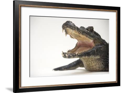 A Jacare Caiman, Caiman Yacare, at the Saint Augustine Alligator Farm.-Joel Sartore-Framed Art Print