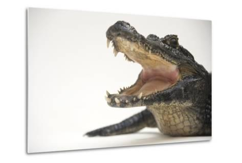 A Jacare Caiman, Caiman Yacare, at the Saint Augustine Alligator Farm.-Joel Sartore-Metal Print