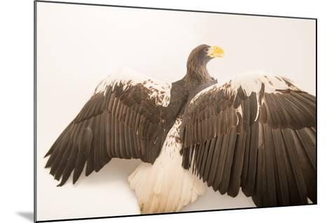 A Vulnerable Steller's Sea Eagle, Haliaeetus Pelagicus, at the Los Angeles Zoo.-Joel Sartore-Mounted Photographic Print