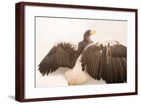 A Vulnerable Steller's Sea Eagle, Haliaeetus Pelagicus, at the Los Angeles Zoo.-Joel Sartore-Framed Art Print