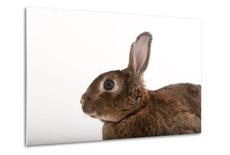 A Dwarf Rabbit, Oryctolagus Cuniculus Domestic, from the Gladys Porter Zoo.-Joel Sartore-Metal Print