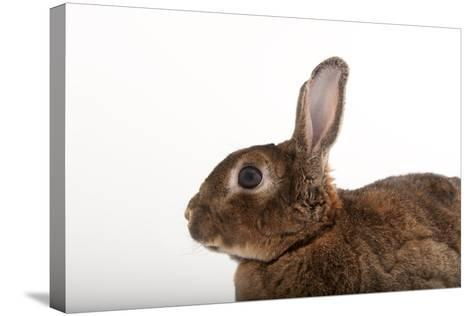A Dwarf Rabbit, Oryctolagus Cuniculus Domestic, from the Gladys Porter Zoo.-Joel Sartore-Stretched Canvas Print