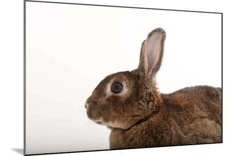 A Dwarf Rabbit, Oryctolagus Cuniculus Domestic, from the Gladys Porter Zoo.-Joel Sartore-Mounted Photographic Print