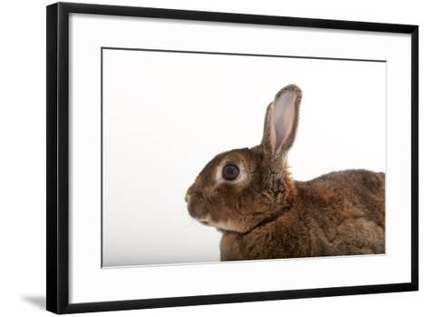 A Dwarf Rabbit, Oryctolagus Cuniculus Domestic, from the Gladys Porter Zoo.-Joel Sartore-Framed Art Print