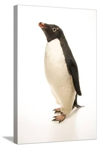 An Adelie Penguin, Pygoscelis Adeliae, at the Faunia Zoo.-Joel Sartore-Stretched Canvas Print