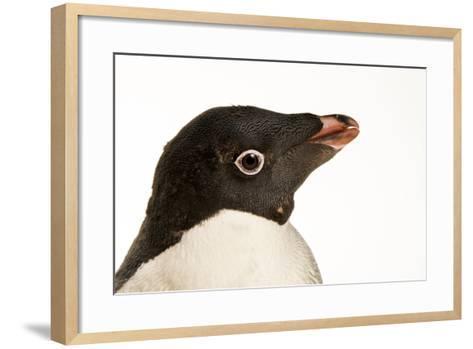 An Adelie Penguin, Pygoscelis Adeliae, at the Faunia Zoo.-Joel Sartore-Framed Art Print