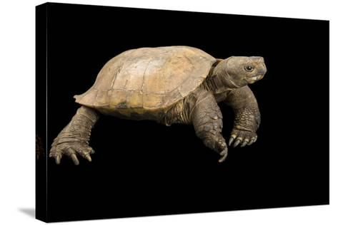 An Arakan Forest Turtle, Heosemys Depressa, at the Saint Louis Zoo.-Joel Sartore-Stretched Canvas Print