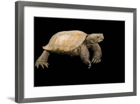 An Arakan Forest Turtle, Heosemys Depressa, at the Saint Louis Zoo.-Joel Sartore-Framed Art Print