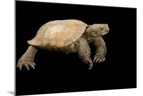 An Arakan Forest Turtle, Heosemys Depressa, at the Saint Louis Zoo.-Joel Sartore-Mounted Photographic Print