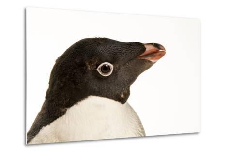 An Adelie Penguin, Pygoscelis Adeliae, at the Faunia Zoo.-Joel Sartore-Metal Print