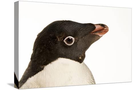 An Adelie Penguin, Pygoscelis Adeliae, at the Faunia Zoo.-Joel Sartore-Stretched Canvas Print