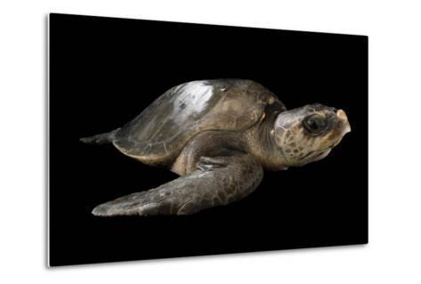 A Vulnerable Olive Ridley Sea Turtle, Lepidochelys Olivacea.-Joel Sartore-Metal Print
