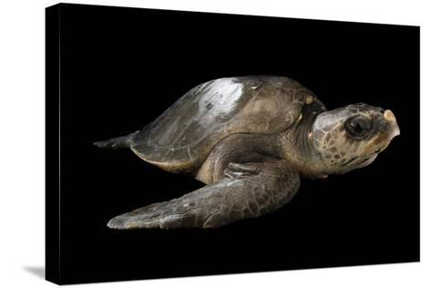 A Vulnerable Olive Ridley Sea Turtle, Lepidochelys Olivacea.-Joel Sartore-Stretched Canvas Print