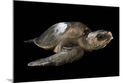 A Vulnerable Olive Ridley Sea Turtle, Lepidochelys Olivacea.-Joel Sartore-Mounted Photographic Print