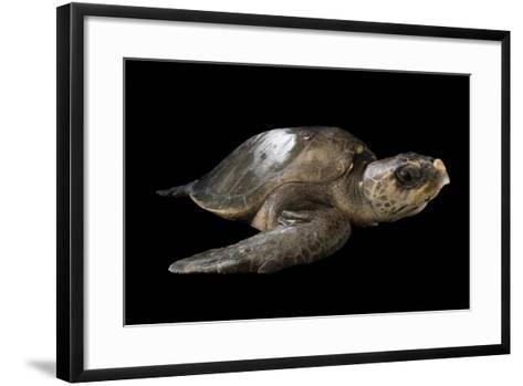A Vulnerable Olive Ridley Sea Turtle, Lepidochelys Olivacea.-Joel Sartore-Framed Art Print