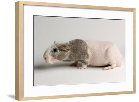 A 'Skinny Pig', Cavia Porcellus, a Hairless Guinea Pig Breed.-Joel Sartore-Framed Art Print