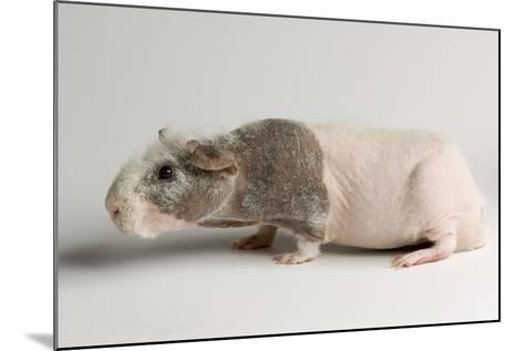 A 'Skinny Pig', Cavia Porcellus, a Hairless Guinea Pig Breed.-Joel Sartore-Mounted Photographic Print