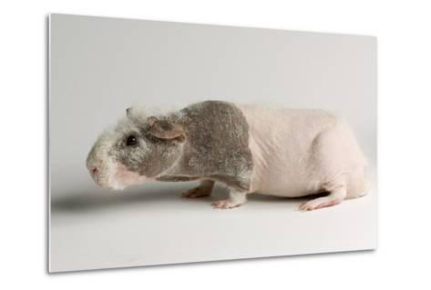 A 'Skinny Pig', Cavia Porcellus, a Hairless Guinea Pig Breed.-Joel Sartore-Metal Print
