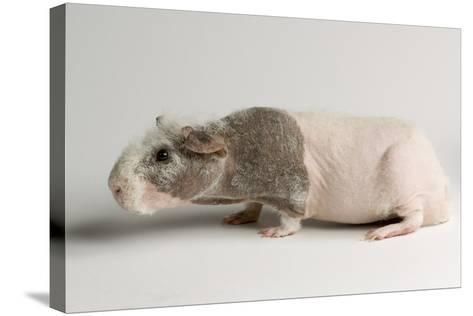 A 'Skinny Pig', Cavia Porcellus, a Hairless Guinea Pig Breed.-Joel Sartore-Stretched Canvas Print
