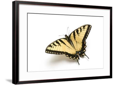 A Male Tiger Swallowtail Butterfly, Papilio Glaucas.-Joel Sartore-Framed Art Print