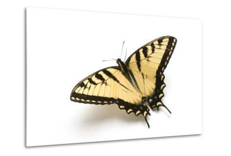 A Male Tiger Swallowtail Butterfly, Papilio Glaucas.-Joel Sartore-Metal Print