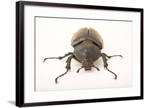 A Female Elephant Beetle, Megasoma Elephas Elephas, at the Houston Zoo.-Joel Sartore-Framed Art Print