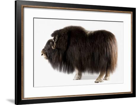 A Musk Ox, Ovibos Moschatus, at the University of Alaska in Fairbanks.-Joel Sartore-Framed Art Print