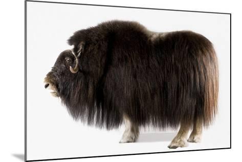 A Musk Ox, Ovibos Moschatus, at the University of Alaska in Fairbanks.-Joel Sartore-Mounted Photographic Print