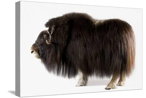 A Musk Ox, Ovibos Moschatus, at the University of Alaska in Fairbanks.-Joel Sartore-Stretched Canvas Print