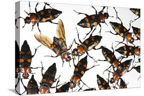 American Burying Beetle, Nicrophorus Americanus.-Joel Sartore-Stretched Canvas Print