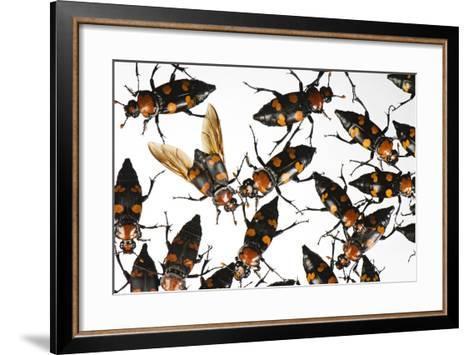 American Burying Beetle, Nicrophorus Americanus.-Joel Sartore-Framed Art Print