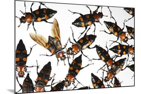 American Burying Beetle, Nicrophorus Americanus.-Joel Sartore-Mounted Photographic Print