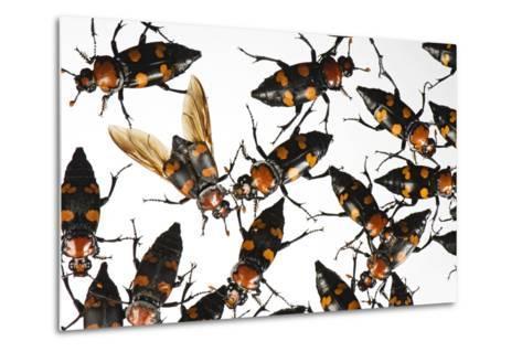 American Burying Beetle, Nicrophorus Americanus.-Joel Sartore-Metal Print