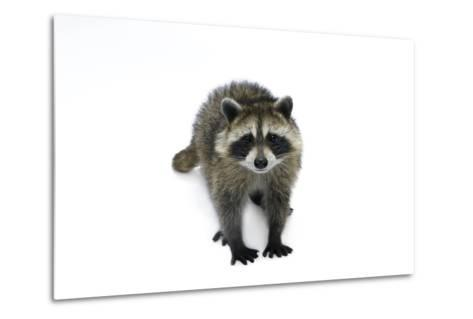 Portrait of a Young Orphaned Raccoon, Procyon Lotor.-Joel Sartore-Metal Print
