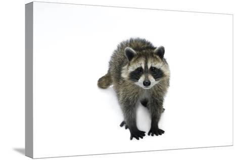 Portrait of a Young Orphaned Raccoon, Procyon Lotor.-Joel Sartore-Stretched Canvas Print