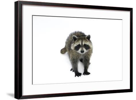 Portrait of a Young Orphaned Raccoon, Procyon Lotor.-Joel Sartore-Framed Art Print