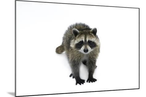 Portrait of a Young Orphaned Raccoon, Procyon Lotor.-Joel Sartore-Mounted Photographic Print