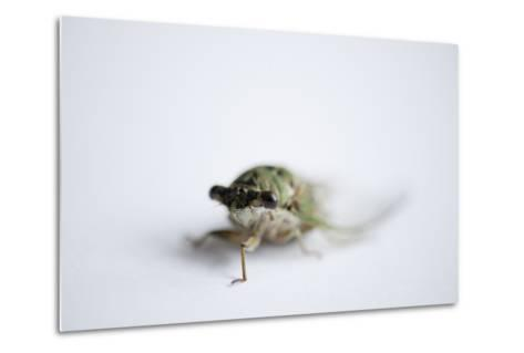 An Annual Cicada or Dog-Day Cicada, Tibicen Canicularis.-Joel Sartore-Metal Print