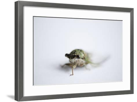 An Annual Cicada or Dog-Day Cicada, Tibicen Canicularis.-Joel Sartore-Framed Art Print