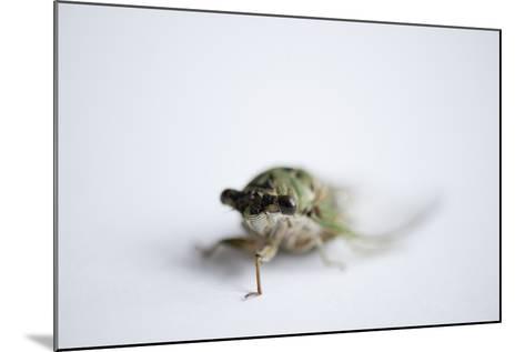 An Annual Cicada or Dog-Day Cicada, Tibicen Canicularis.-Joel Sartore-Mounted Photographic Print