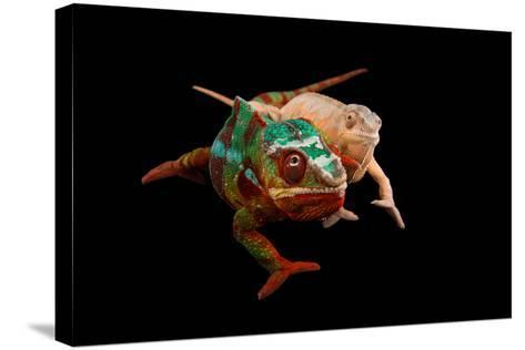 Male and Female Ambilobe Locality Panther Chameleons, Furcifer Pardalis.-Joel Sartore-Stretched Canvas Print