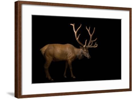 A Bull Elk with His Antlers in Velvet, Cervus Canadensis, at the Oklahoma City Zoo.-Joel Sartore-Framed Art Print