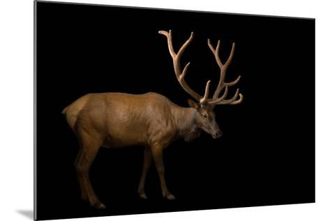 A Bull Elk with His Antlers in Velvet, Cervus Canadensis, at the Oklahoma City Zoo.-Joel Sartore-Mounted Photographic Print