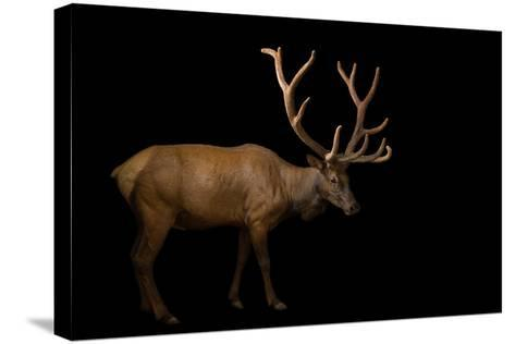 A Bull Elk with His Antlers in Velvet, Cervus Canadensis, at the Oklahoma City Zoo.-Joel Sartore-Stretched Canvas Print