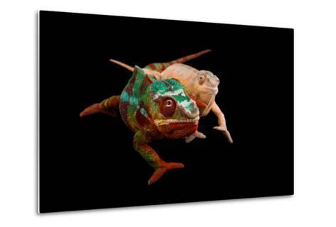 Male and Female Ambilobe Locality Panther Chameleons, Furcifer Pardalis.-Joel Sartore-Metal Print