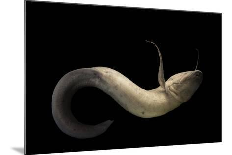 An African Lungfish, Protopterus Annectens, at the Oklahoma City Zoo.-Joel Sartore-Mounted Photographic Print