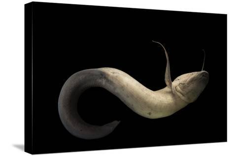 An African Lungfish, Protopterus Annectens, at the Oklahoma City Zoo.-Joel Sartore-Stretched Canvas Print